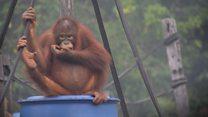 Kebakaran hutan meluas, orang utan terserang ISPA