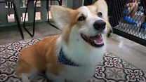 Why thousands are flocking to Corgi cafes