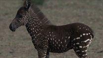 Ово није обична зебра, ово је зебра на туфне