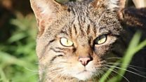 Zoo in bid to save rare wildcats