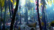 David Attenborough: Save the magical kelp forests