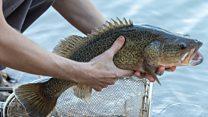 Why Australia is evacuating fish