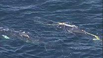 Whale calf rescue in Australia