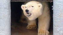 How Misha the polar bear changed zoos forever