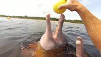 الدلافين الوردية التي تعالج الناس
