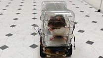 Rats taught how to drive little cars
