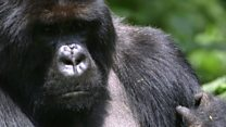 Up close with the gorillas of Rwanda