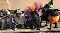 When pugs do Halloween