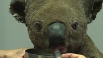 Lucky koala escapes Australia bushfire