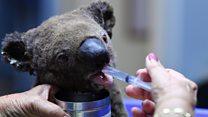 Lucky koala escapes bushfire