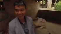 Swine flu devastates China's pigs
