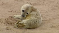 Grey seal birth captured on film