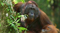 Feeding time with Borneo's semi-wild orangutans