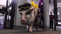 ICYMI: Pigs, turtles and a jet suit world record