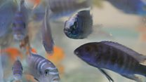 The challenges of exporting ornamental fish in Malawi