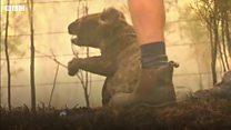 호주 산불 : 타오르는 불길 속에서 구조된 코알라