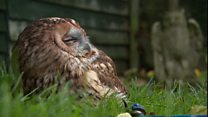 Rescuing London's poisoned owls