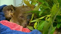 Injured koala reunited with bushfire rescuer