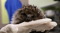 Record number of hedgehogs treated at animal charity