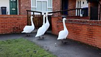 Door knocking swans are 'no bother'