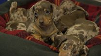 Dogs' home dachshunds named after Santa's reindeer