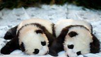ICYMI: Pandas, snakes and skiing Santas