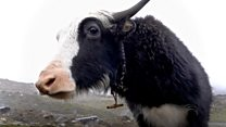 What killed 500 yaks in India?
