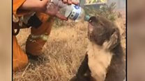 Koala given water by firefighter amid bushfires