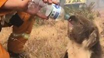 Коала пије воду из флаше усред пожара