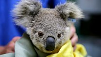 The animals struggling in the bushfire crisis
