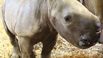 White rhino birth captured on camera