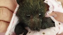 Orphaned bushfire baby bats wrapped with love