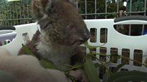 Australia bushfires: The scramble to connect animal casualties thumbnail