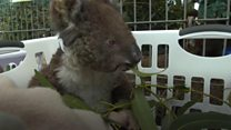 Saving Kangaroo Island's animals