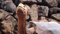 멸종 위기 극복의 주역 '플레이보이' 거북이