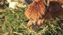 Переработать, укрепить речной берег, накормить альпак: что делать с елочкой после праздников?
