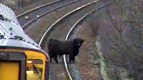 Highland cow holds up rush-hour trains