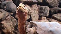 800 குட்டிகள் போட்ட ஆமை - காட்டுக்கு திரும்புகிறது