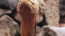 আটশ সন্তানের জন্মদাতা শতবর্ষী প্লেবয় কচ্ছপ ডিয়েগো