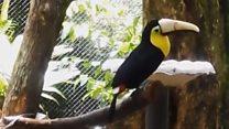Тукан с искусственным клювом стал символом борьбы за права животных