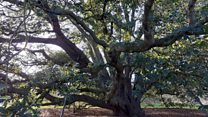 The ancient oak tree that taught the world a lesson