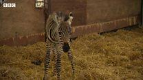 Baby zebra born at wildlife park