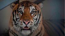 Кријумчарење дивљих животиња: Мучни пут тигрова у малом камиону