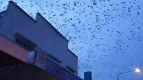 'Bat tornado' invades Australian town