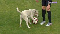 Лабрадор выбежал на футбольное поле. Что произошло с собакой дальше?