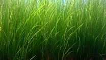 Why is this seagrass so important?