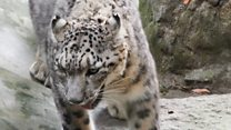 Rare snow leopard spotted in India