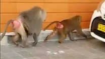 Vasectomy-escaping baboons on the run in Sydney