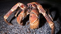 'A giant robber crab stole my camera'