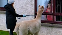 Alpacas visit care home to cheer up residents